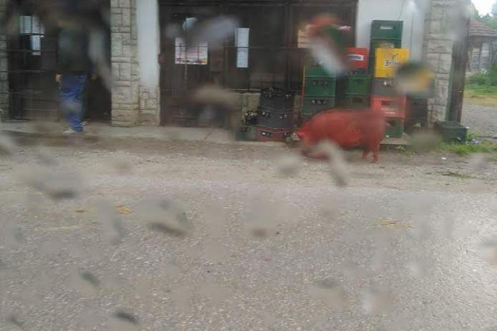 (FOTO) MEŠTANI MISLILI DA HALUCINIRAJU: Crvena svinja prošetala selom kraj Prokuplja!