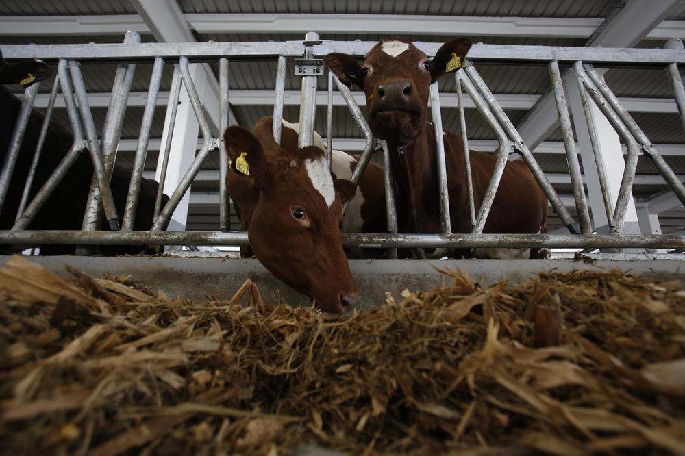MILOŠ IZ ČAČKA: I moje krave zbog vrućine daju manje mleka, poprskam ih hladnom vodom pa ih tako rashlađujem!