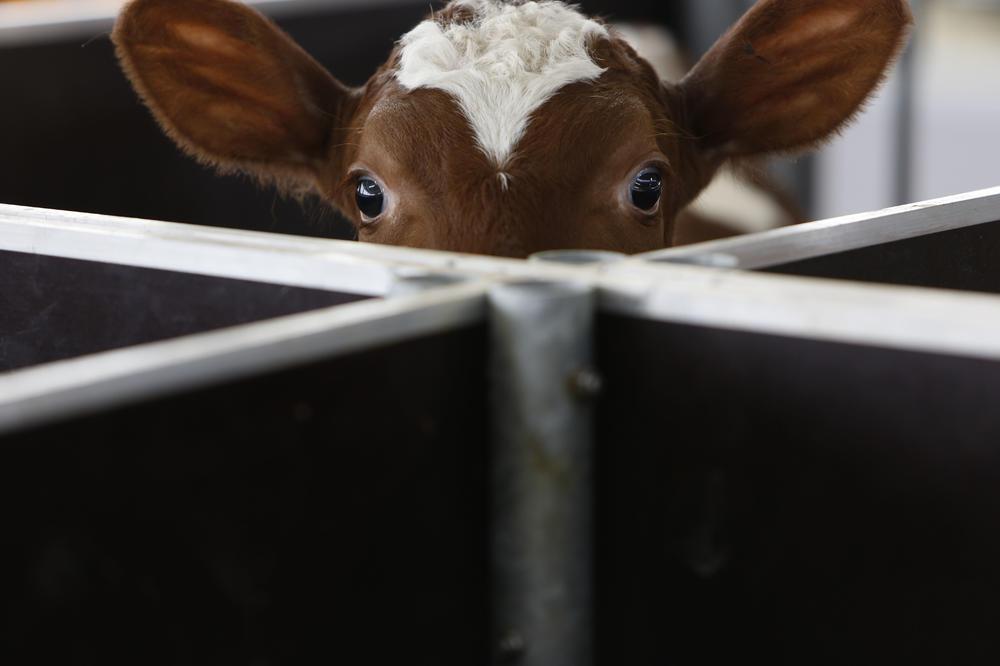 SRPSKE KRAVE SU POD STRESOM: Zbog vrućine daju manje mleka, preporučuje se tuširanje i hlađenje ventilatorom!