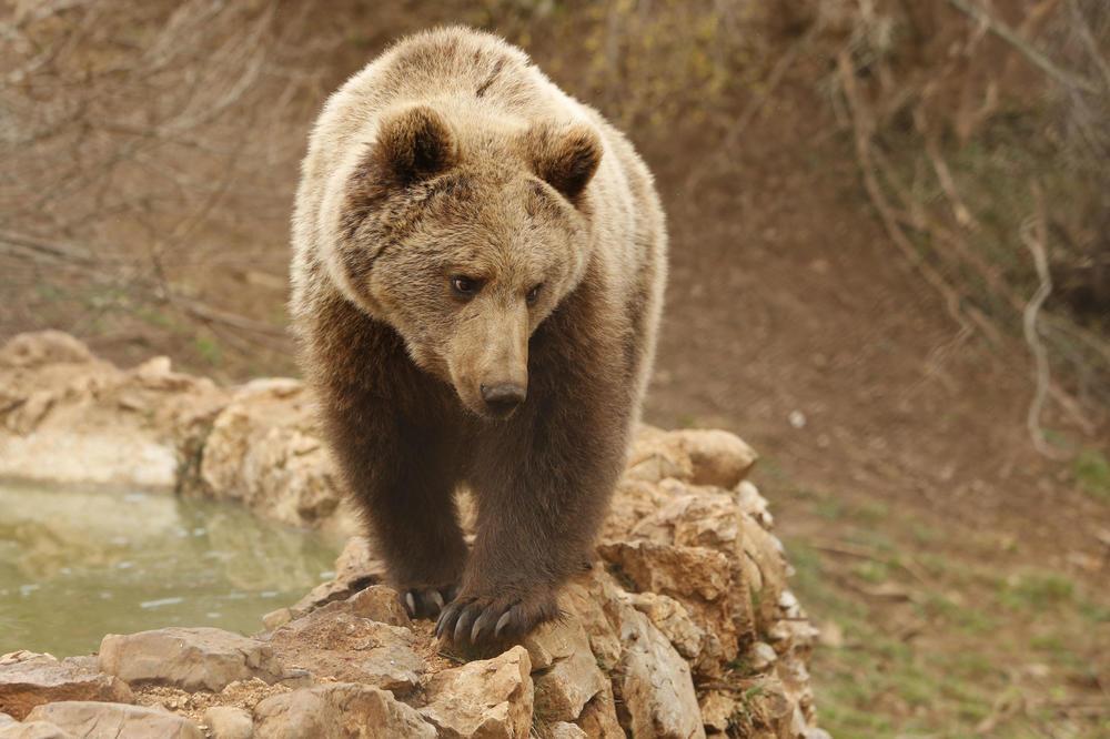 UZBUNA U VLADIČINOM HANU: Medved se prošetao ulicama, ljudi u panici!