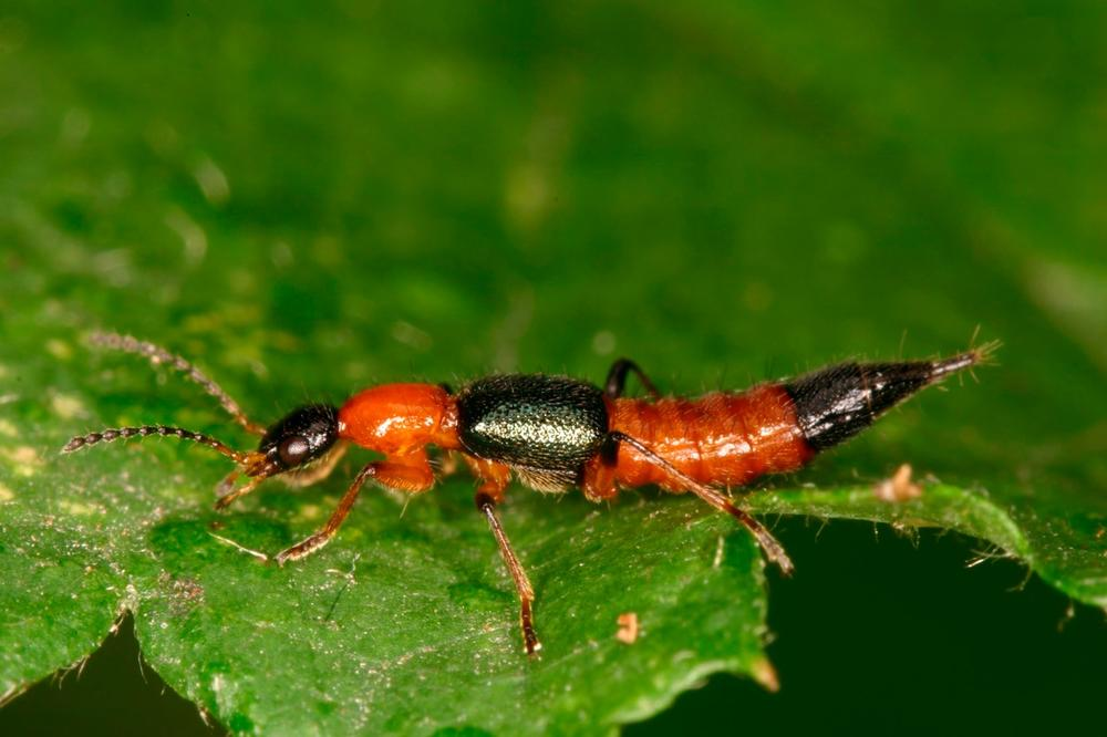(FOTO) DUGAČAK JE KAO LJUDSKA RUKA: Ovo je najveći insekt na svetu!