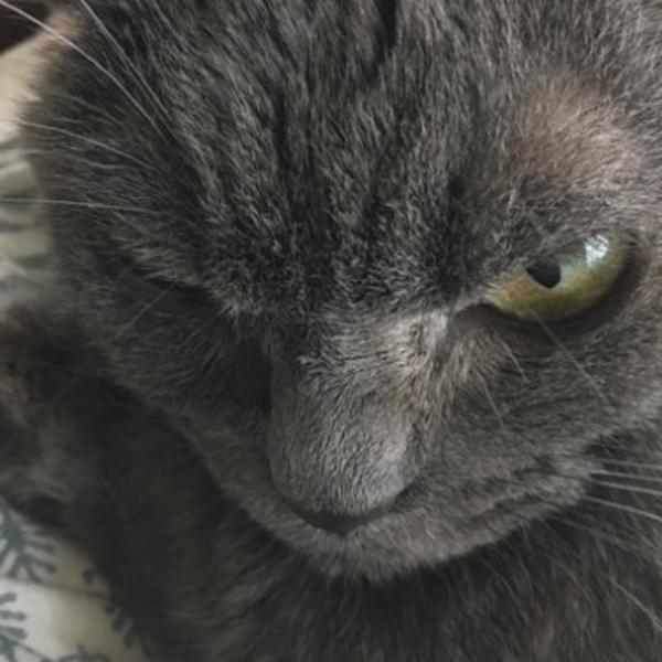Crna velika sočna maca