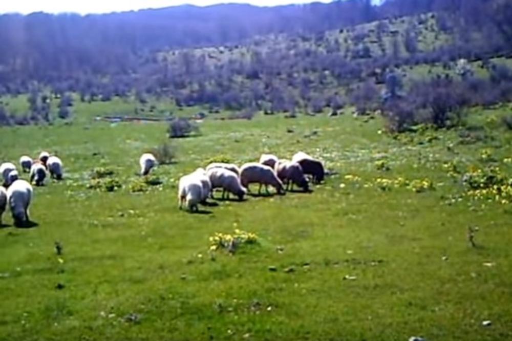 Na Suvoj planini letos samo jedan ovčar: Sam čuvam 170 ovaca i ručno ih muzem. Treba mi za to oko sat i 20 minuta!