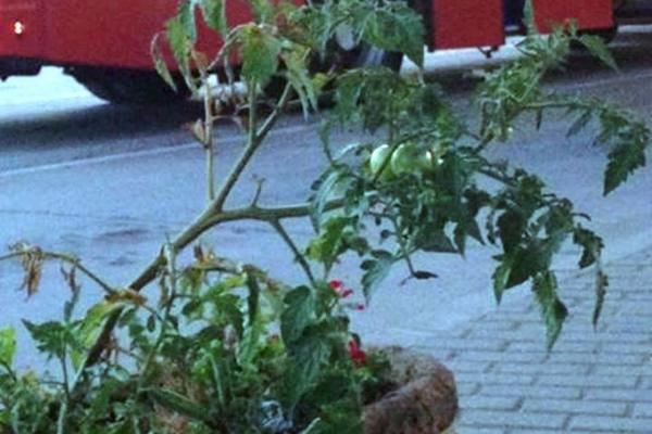 REDOVNO SE ZALIVA: Zasađen paradajz u žardinjeri na leskovačkoj
