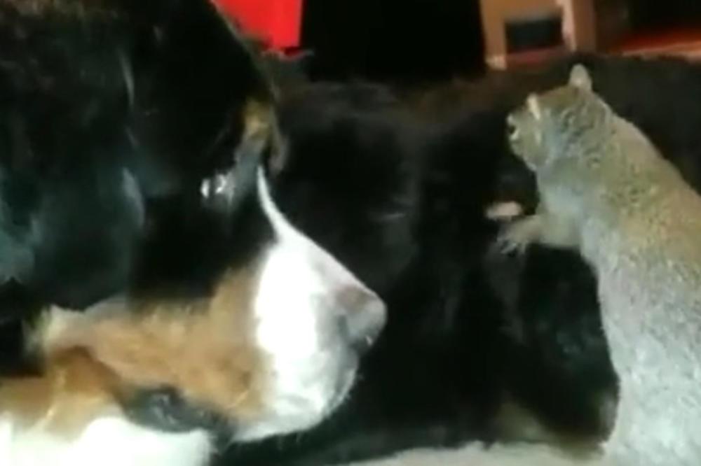 (VIDEO) HEJ, DLAKAVI ČUVAJ MI LEŠNIK! Veverica bi da sakrije hranu na skroz blesavom mestu!