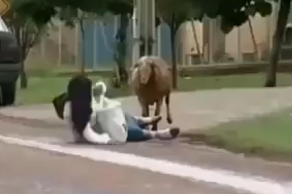 (VIDEO) OVCA TERORIŠE ČITAVO SELO! Ne daj bože da joj neko stane na put!