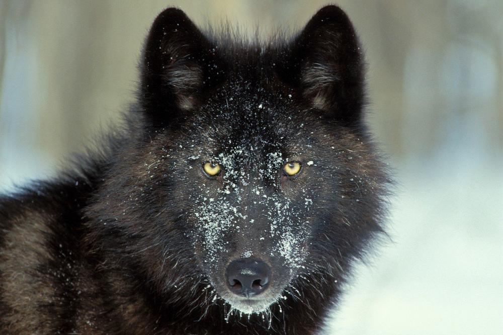 DRAGAČEVCI JOŠ PAMTE MEDVEDA MILOJA, ALI SAD IH POHODI JOŠ GORA ZVER: Ljubiša video džinovskog crnog vuka! Vraćao sam se kolima i na putu je stajao ON, meštani mu već dali ime Garo