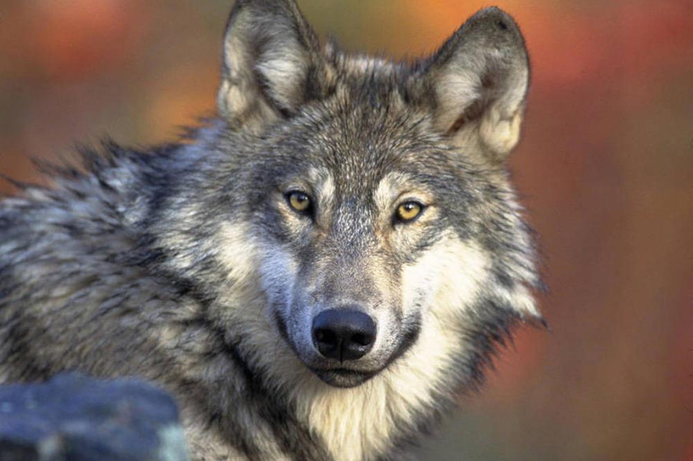 VUKOVI IZ SRBIJE UDOMLJENI U GRČKOJ: Nađeni u divljini pre 11 godina, a odlaze u utočište za ove životinje
