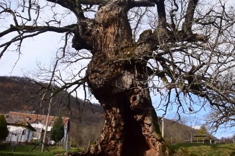 (FOTO) SEOSKU ŠKOLU KOD TOPOLE ČUVA HRAST ZAPIS STAR 300 GODINA: Meštani Lipovca poštuju ga kao sveto drvo i još pamte strašnu smrt mlade Julke (17)