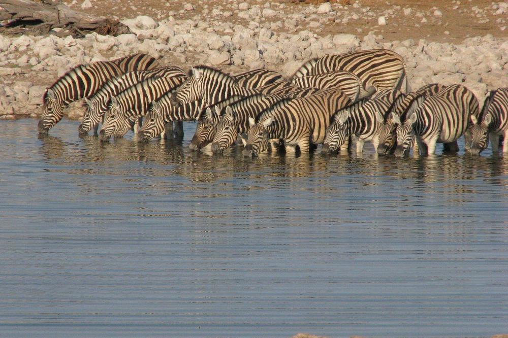 UPOZORENJE ZA CELU PLANETU: Velikim afričkim sisarima preti izumiranje