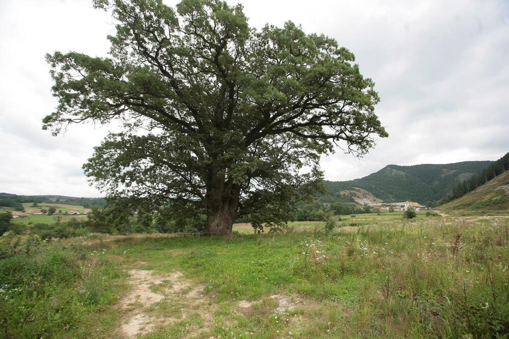 SVI SU REKLI DA ĆE GA STIĆI KLETVA ZBOG SEČE ZAVETNOG HRASTA NA KORIDORU 11: Evo šta se desilo sa drvosečom najpoznatijeg drveta u Srbiji
