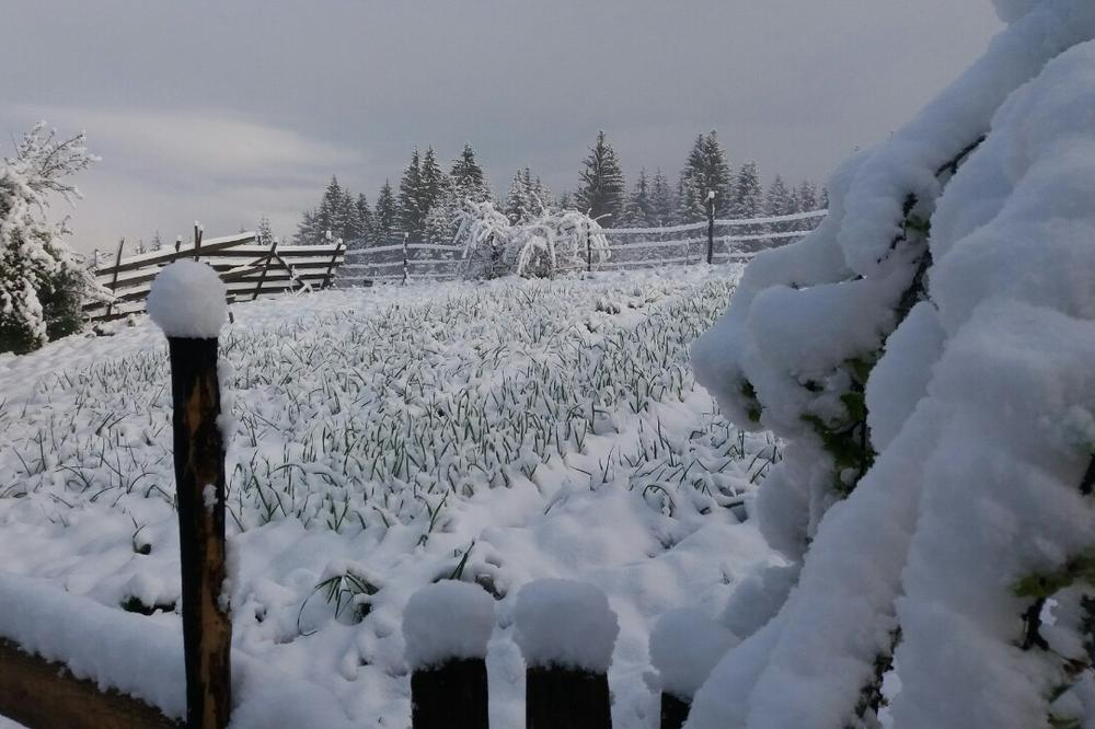 DANAK NEPOGODAMA IPAK ĆE BITI PLAĆEN: Sneg uništio maline