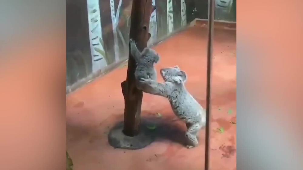 NEĆETE MOĆI DA PRESTANETE DA IH GLEDATE! Evo kako mama koala, pomaže mladunčetu da siđe niz drvo! (VIDEO)