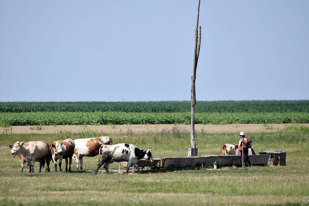 leto, lepo vreme, selo, srpsko selo, krave, čobanin