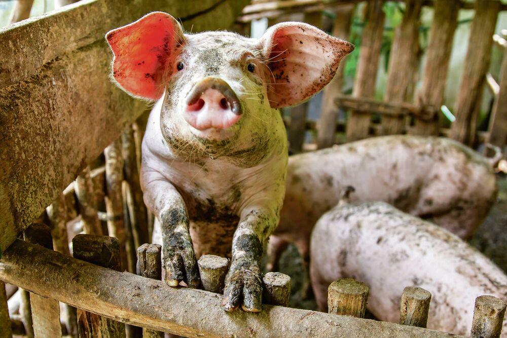 PANIKA U SELIMA OKO SMEDEREVA: Pojavila se afrička kuga svinja