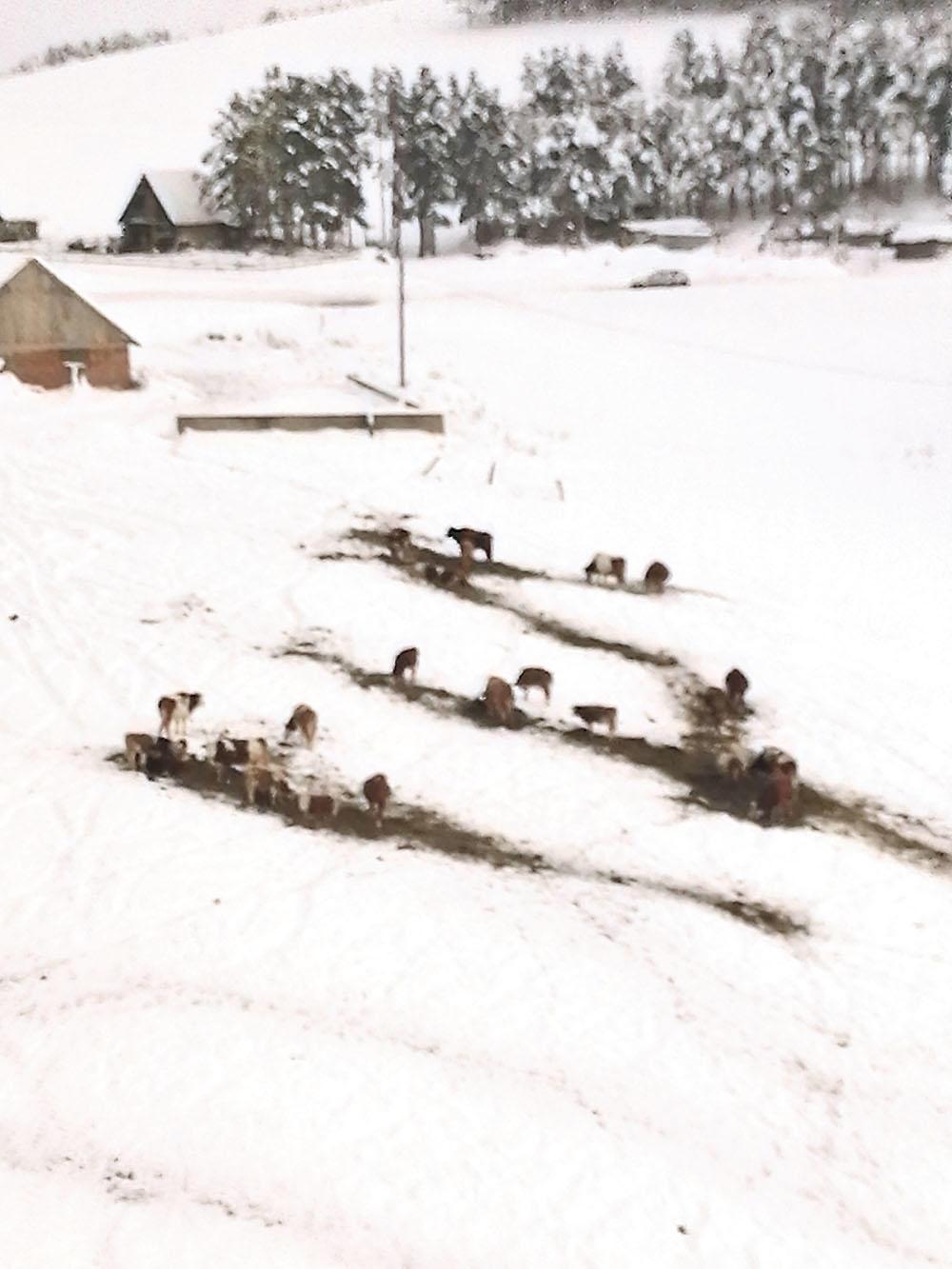 Krdo  prošaralo sneg Seno, koje jedu, odozgo izgleda ko kakav drum usred beline